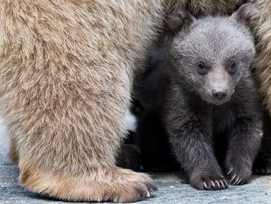 Seekor bayi beruang cokelat Suriah berdiri di bawah induknya, Martine, di kandang mereka di Kebun Binatang Servion, Swiss, Selasa (17/4). Tiga bayi beruang lahir pada 19 Januari 2018. (Cyril Zingaro / Keystone via AP)