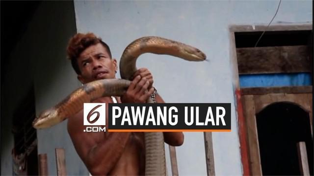 Seorang warga Desa Mentulik, Kabupaten Kampar, Riau, membuat geger karena menaklukkan 2 ular king kobra. Kemampuan pria ini menjadi viral hingga ke mancanegara.