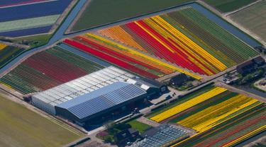 Penampakan ladang bunga tulip De Keukenhof di Lisse, Belanda, Jumat (20/4). Tulip beraneka warna tersebar di lahan seluas 32 hektare. (AP Photo / Peter Dejong)
