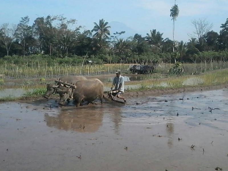 Seorang petani dusun Tutup Duwur Kecamatan Dukun Magelang sedang membajak sawahnya di kaki Merapi dengan kerbaunya. (foto : Liputan6.com / edhie prayitno ige)