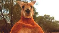 Kanguru yang diberi nama Roger memiliki tinggi 2 meter, dan mampu meremukkan ember yang terbuat dari kaleng. (Sumber: The Kangaroo Sanctuary)