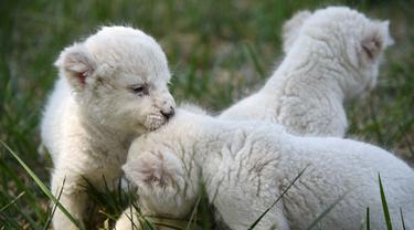 Tiga bayi singa putih bermain di taman margasatwa Wild World Jinan, Jinan, Provinsi Shandong, China, Minggu (14/6/2020). Wild World Jinan merayakan satu bulan kelahiran tiga bayi singa putih mereka pada 14 Juni 2020. (Xinhua/Wang Kai)