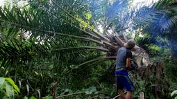Petugas konservasi menebang pohon kelapa sawit yang ditanam secara ilegal di Taman Nasional Gunung Leuser, Aceh, Kamis (1/11). Forum Konservasi Leuser mengatakan bahwa mereka menghancurkan sekitar 2.000 hektare pohon kelapa sawit ilegal. (JANUAR/AFP)