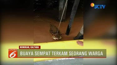 Seekor buaya ganas di Nunukan, Kalimantan Utara, berhasil ditangkap warga tanpa perlawanan setelah menerkam seorang pria.