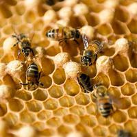 Penampakan lebah madu di sebuah peternakan di Navajas, Matanzas, Kuba, 21 Maret 2019. Tempat ini menyimpan banyak bunga liar yang menjadi makanan lebah. (YAMIL LAGE/AFP)