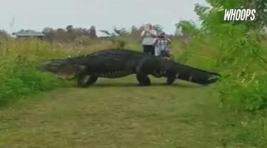 Aligator jantan sepanjang 4 meter muncul di sebuah tempat wisata kawasan Florida, Amerika Serikat
