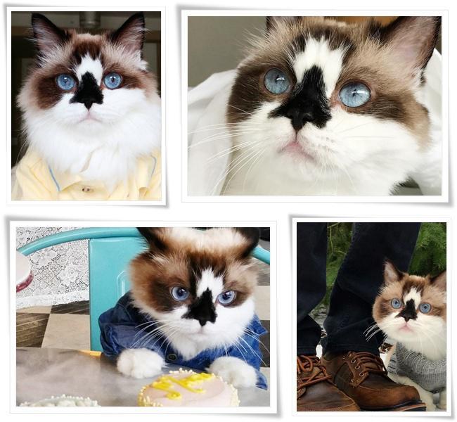 Albert si kucing dengan bola mata warna biru super indah nan cantik | Photo: Copyright boredpanda.com
