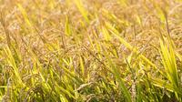 Ilustrasi padi (iStock)
