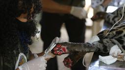 Para staf merawat seekor macan tutul yang terluka di sebuah pusat perlindungan satwa di Negara Bagian Goias, Brasil (27/9/2020). Kebakaran hutan di lahan basah Pantanal terus meluas hingga mengancam kehidupan satwa liar dan lingkungan sekitar. (Xinhua/Lucio Tavora)