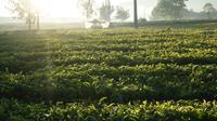 Sinar matahari pagi menyinari perkebunan teh Kertasari di Kabupaten Bandung. (Liputan6.com/Huyogo Simbolon)
