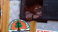 Orangutan bernama Asto, jantan, dan Asih, betina, berusia antara 2-5 tahun (Istimewa)