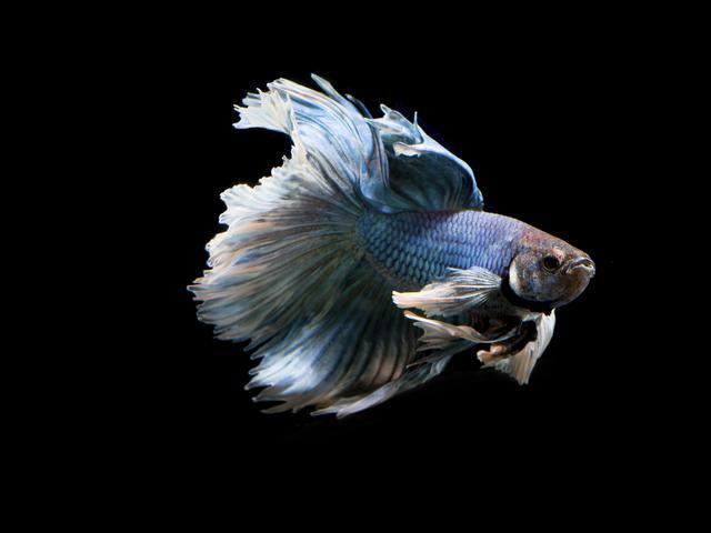 6 Cara Merawat Ikan Cupang Lakukan Dengan Benar Hot Liputan6 Com