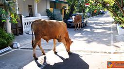 Citizen6, Karanganyar: Suasana pagi di perumahan Jaten permai, Jaten, Karanganyar, Jawa Tengah, yang sepi mendadak ramai. Sepasang sapi tiba-tiba muncul dan berjalan memasuki kawasan perumahan. (Pengirim: Alvein Damardanto)