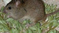 Bramble Cay, hewan mamalia pertama yang dinyatakan punah akibat perubahan iklim (AFP)