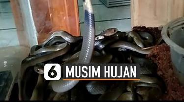 Musim hujan tiba, sejumlah ular muncul hebohkan warga. Namun nyatanya hewan berbahaya lainnya juga bisa datang.