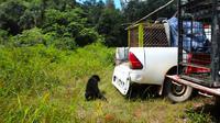 Petugas BBKSDA Riau melepasliarkan beruang madu yang sebelumnya masuk ke pemukiman warga di Kota Dumai. (Liputan6.com/M Syukur)