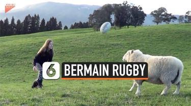 Seekor domba yang cukup terlatih memperlihatkan kemampuannya dalam menyundul bola rugby.  Domba ini bernama Bruce.