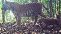 Keluarga Harimau Sumatera sedang bercengkerama di hutan (Liputan6.com / M.Syukur)