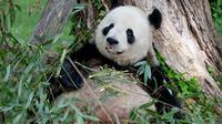 Panda bernama Mei Xiang di Kebun Binatang Nasional Smithsonian di Washington DC melahirkan (Dok.Twitter/@NationalZoo/Komarudin)