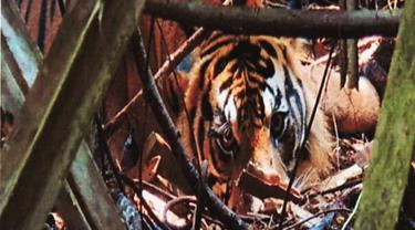 Harimau jantan yang terjebak kawat baja di hutan restorasi ekosistem di Riau.