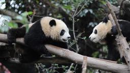 Dua panda raksasa terlihat di Pusat Penelitian dan Penangkaran Panda Raksasa Chengdu dalam sebuah acara peringatan Hari Panda Internasional di Chengdu, Provinsi Sichuan, China barat daya, pada 27 Oktober 2020. (Xinhua/Xu Bingjie)