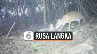 """Spesies langka rusa kecil yang disebut """"mouse-deer"""" terlihat di hutan barat laut Vietnam. Ini menjadi yang pertama dalam 30 tahun terakhir. Spesies ini sempat dianggap punah oleh para pakar konservasi."""