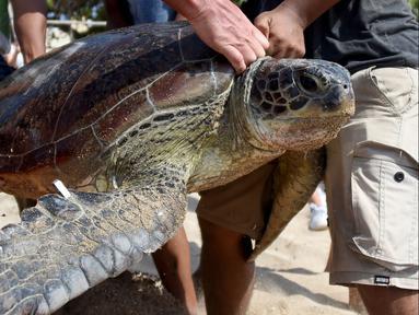 Penyu hijau saat dilepaskan kembali ke laut di Pantai Kuta dekat Denpasar, Bali (20/12/2019). Pantai Kuta menjadi tempat pelepasan penyu hijau sitaan Polda Bali. (AFP Photo/Sonny Tumbelaka)