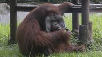 Odon terlihat memegang puntung rokok yang dilemparkan seorang pengunjung kebun binatang di Bandung, Jawa Barat. (Foto source: AP)