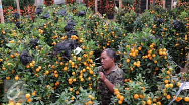 Seorang pedagang berada di kebun jeruk jenis Kumquat dan Chusa yang di impor dari Cina di Jakarta, Rabu (27/1). Permintaan Jeruk asal Cina tersebut meningkat 100 % menjelang imlek. (Liputan6.com/Angga Yuniar)