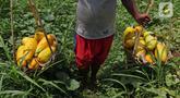 Petani membawa timun suri hasil panen di kawasan Rangkapan Jaya Baru, Pancoran Mas, Depok, Jawa Barat, Selasa (13/4/2021). Timun suri dicari pembeli sebagai salah satu bahan menu minuman untuk berbuka puasa. (Liputan6.com/Herman Zakharia)
