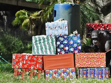 Simpanse bernama Max membuka hadiah yang dibawa oleh pengunjung sebagai bagian dari tradisi Natal di La Aurora Zoo, Guatemala City pada Kamis (19/12/2019). Hari Natal yang jatuh pada 25 Desember membuat sejumlah kebun binatang turut merayakannya dengan cara yang unik. (Orlando  ESTRADA/AFP)
