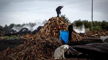 Seekor anjing duduk dekat tumpukan kayu saat seorang pria bekerja di fasilitas produksi arang al-Hattab, sebelah timur Kota Gaza, Palestina, 28 Januari 2021. Fasilitas pembuatan arang al-Hattab adalah produsen terbesar di Jalur Gaza. (Mohammed ABED/AFP)
