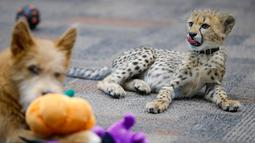 Bayi cheetah bernama Kris dan anak anjing bernama Remus terlihat akrab di Kebun Binatang Cincinnati, Ohio, Amerika Serikat, Rabu (9/10/2019). Remus membantu Kris mempraktikkan perilaku alami. (AP Photo/John Minchillo)