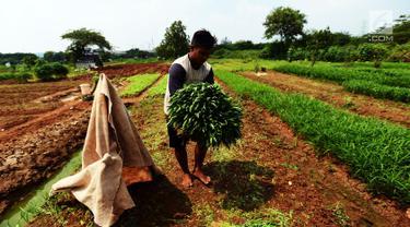 Petani memetik sayur ketika panen Kangkung di lahan garapan Banjir Kanal Timur, Cakung, Jakarta, Rabu (15/5/2019). Meski memanfaatkan lahan kosong untuk dijadikan lahan produktif, namun dengan kondisi cuaca tak menentu seperti ini kadang petani mengalami rugi. (merdeka.com/Imam Buhori)