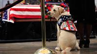 Sully, anjing mendiang George H.W. Bush memberikan penghormatan kepada sang tuan di Gedung Capitol, Washington, Senin (3/12). Sully diberikan kepada Bush sebagai hadiah pada Juni lalu setelah istrinya, Barbara, meninggal dunia. (AP/Manuel Balce Ceneta)