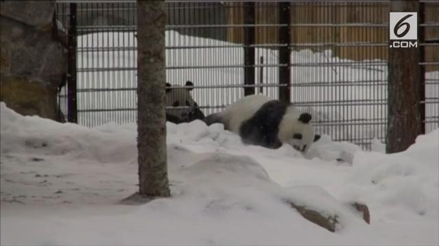 Kebun binatang Finlandia memperkenalkan dua ekor panda asal Tiongkok. Kedua panda ini mampu beradaptasi dengan lingkungan dan gemar bermain salju.