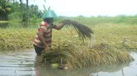 Ilustrasi - Petani memanen padi yang terendam banjir dan nyaris membusuk di Kawunganten, Cilacap. (Foto: Liputan6.com/Muhamad Ridlo)