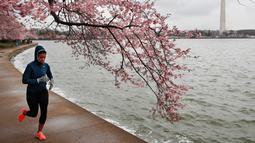 Seorang wanita berolahraga melintas di bawah pohon Sakura yang sedang mekar di Washington (4/2). Keindahan pohon Sakura saat bunganya bermekaran ini menjadi daya tarik wisatawan. (AP Photo/Jacquelyn Martin)