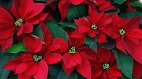 Ingin menata rumah saat Natal? Ini cara mudah memilih bunga Katsuba yang tepat.