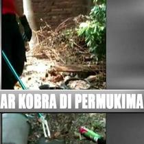 Kebun ini ternyata dijadikan ular kobra untuk berkembang biak.
