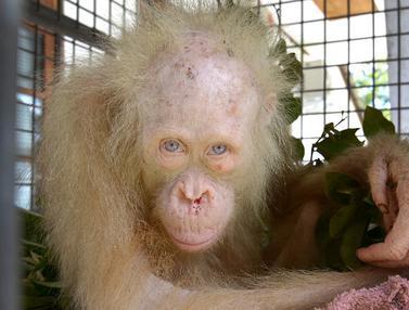 20170511- Orangutan Albino Ditemukan di Kalimantan Tengah-AP-0