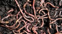 Ilustrasi cacing tanah (iStock)