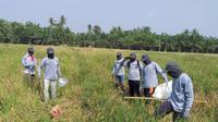 Gerakan pengendalian (gerdal) hama tikus melalui aksi gropyokan yang dilakukan pihak Dinas Tanaman Pangan dan Hortikultura (TPH) Provinsi Sumatera Utara. (Dok Kementan)