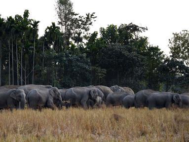 Kawanan gajah berkumpul di sawah di desa Bahampur di kabupaten Nagaon, beberapa 155kms timur Guwahati, India (27/12). Sekitar 150 ekor gajah keluar dari hutan di Assam, timur India untuk mencari makanan dan menghebohkan warga. (AFP Phoyo/Biju Boro)