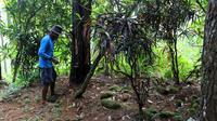 Seorang warga menunjukkan makam di tengah perkebunan pinus milik Perhutani yang menunjukkan bahwa pada masa lalu kawasan ini adalah perdesaan, di Cipari Kabupaten Cilacap, Jawa Tengah. (Foto: Liputan6.com/Muhamad Ridlo)