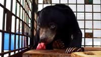 Anak beruang madu perempuan berumur 6 bulan yang dievakuasi ke BKSDA Bengkulu diberi nama Marsya disapa Shasa. (Liputan6.com/Yuliardi Hardjo)