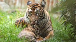 Dalam foto selebaran tanpa tanggal memperlihatkan seekor anak Harimu Sumatera berfoto bersama induknya di Kebun Binatang Wroclaw, Polandia. Harimu Sumatera berusia dua bulan ini mulai mengenal dunia luar dan belajar berburu dari ibunya bernama Nuri. (Wroclaw Zoo via AP)