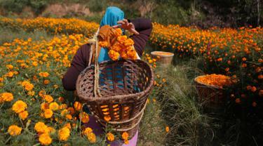 Seorang wanita Nepal memetik bunga marigold di Kathmandu, Nepal, (17/10). Bunga marigold digunakan sebagai persembahan kepada dewa-dewa Hindu dan juga untuk tujuan dekoratif selama festival Tihar. (AP Photo/Niranjan Shrestha)