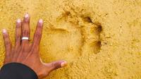Jejak harimau sumatra yang ditemukan masyarakat di Desa Karya Indah, Kabupaten Kampar. (Liputan6.com/M Syukur)