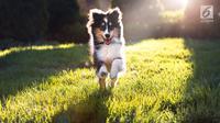 Anjing Shetland Sheepdog (iStockphoto)